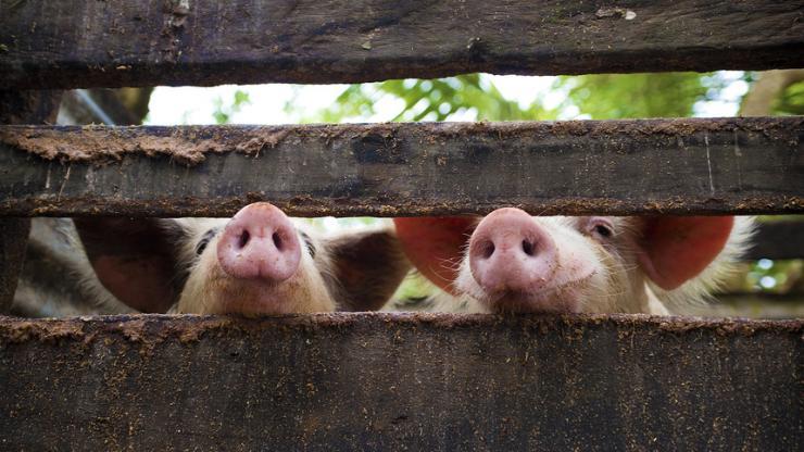 Nez de porcs