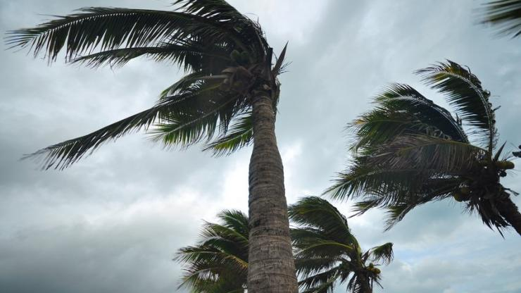 Palmiers pendant un ouragan